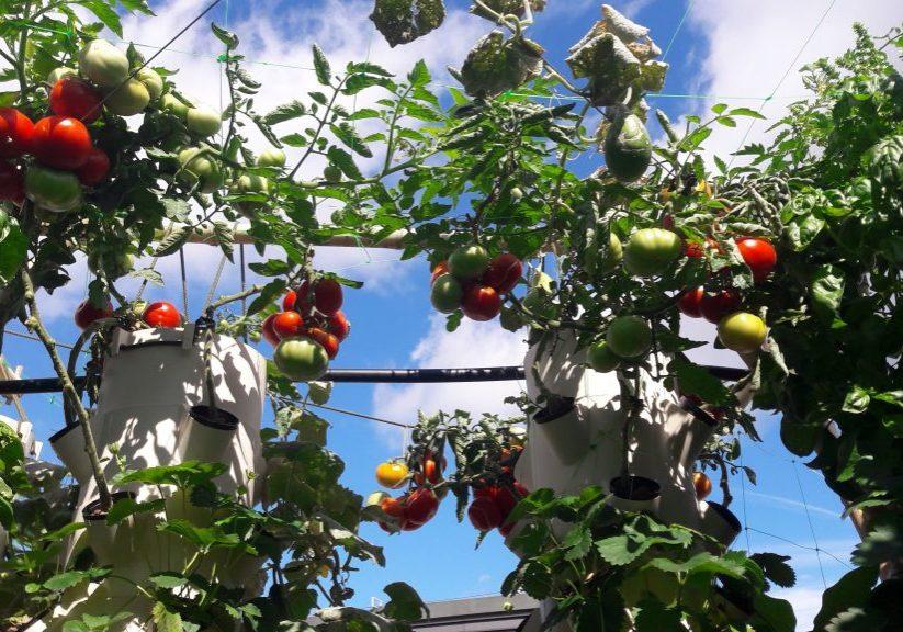 tomate dans le ciel